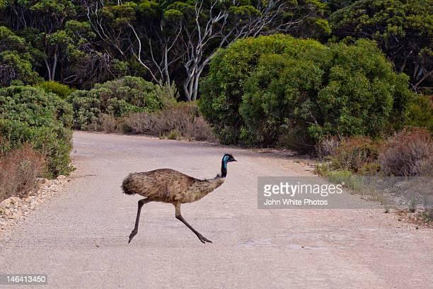 Emu running across road. South Australia.