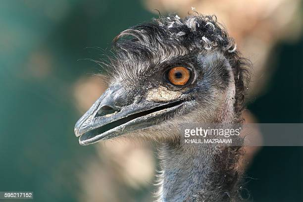 A emu sits inside it's enclosure at the New Hope Centre an animal refuge near Amman on August 25 upon their arrival after being evacuated from a zoo...