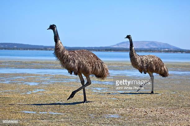 Emus at Coffin Bay Australia