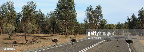 Emu's crossing the road