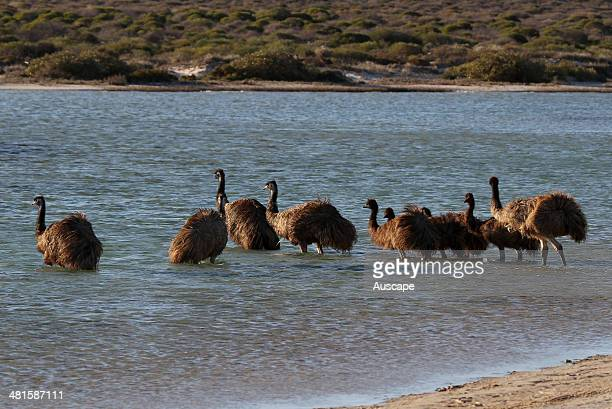 Emus Dromaius novaehollandiae group crossing an estuary Shark Bay Western Australia Australia
