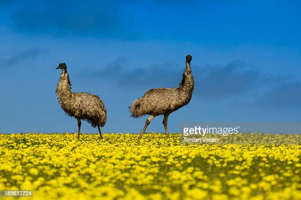 Emus in a canola field