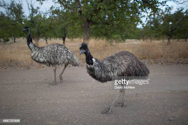 Emus wander down a road in an evacuated area at the edge of the Valley Fire on September 14 2015 in Middletown California The 95squaremile fire has...