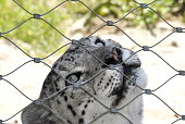 Endangered animal snow leopard behind a fence in a zoo