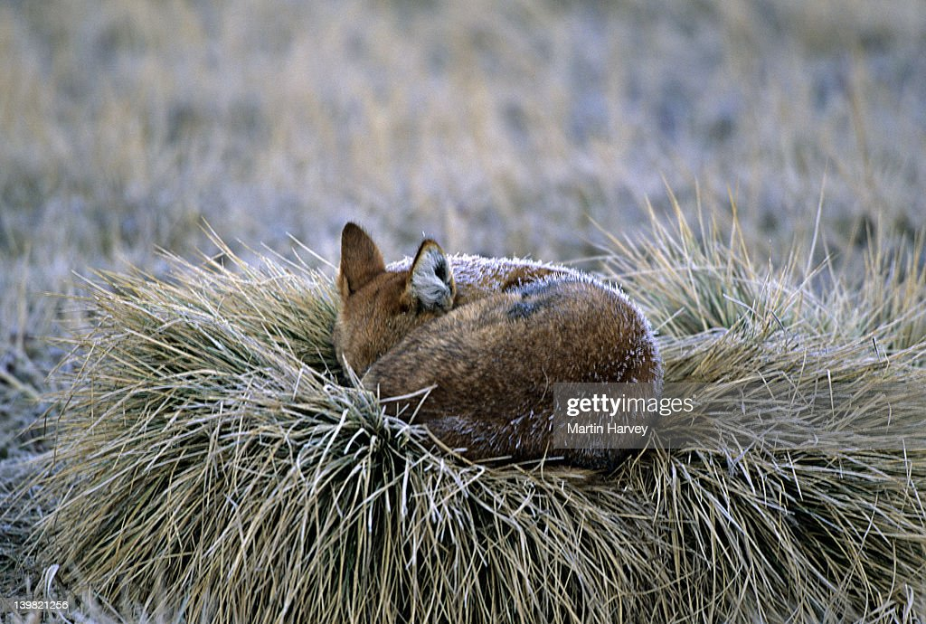 Endangered Ethiopian Wolf, Canis simensis, asleep and covered in early morning frost, Bale Mountains National Park, Ethiopia
