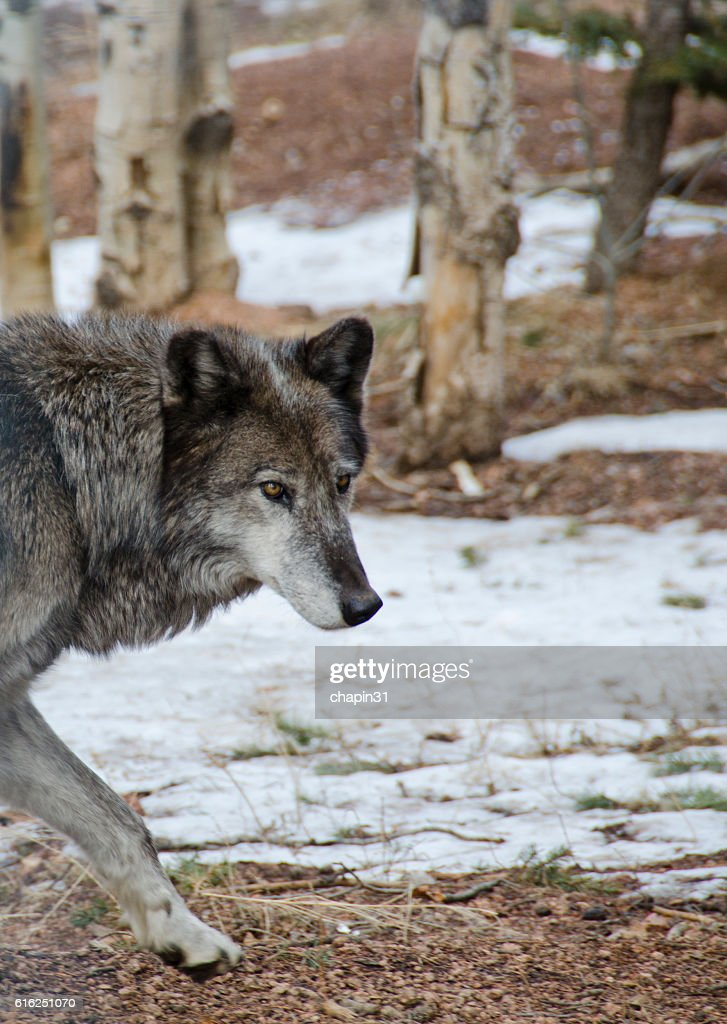Endangered Mexican Gray Wolf : Foto de stock