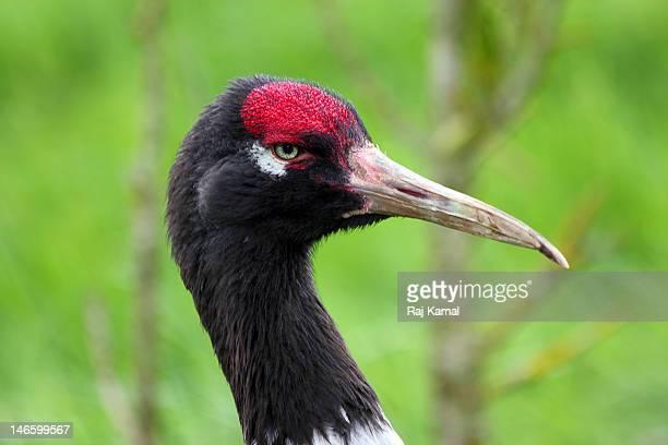Endangered Red-crowned Crane