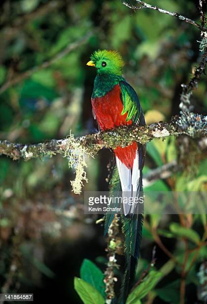 Endangered Resplendent Quetzal, Pharomachrus mocinno, in rainforest, Talamanca Mountains, Costa Rica