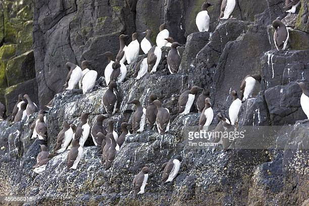 Endangered species Common Guillemot or Common Murre colony of seabirds Uria aalge of the auk family on cliffs on Isle of Canna part of the Inner...