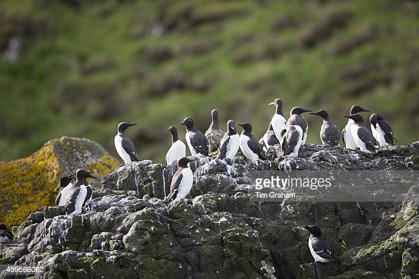 Endangered species Common Guillemot or Common Murre colony of seabirds Uria aalge of the auk family with Razorbills on rocks on Isle of Canna part of...