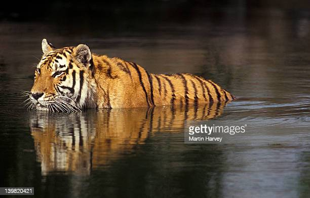 Endangered Tiger. Panthera tigris. Swimming in hot weather; distributed in Asia but extinct in much of its range