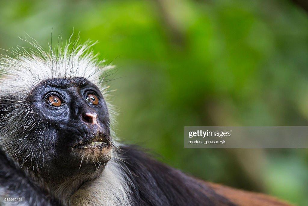 Endangered Zanzibar red colobus monkey (Procolobus kirkii), Joza : Stock Photo