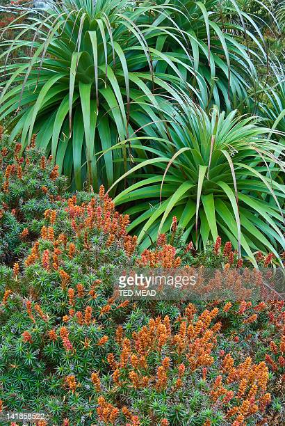 Endemic heath plants of Pandani ( Richea pandanifolia ) and flowering Scoparia (Richea scoparia ) in the Cradle Mt National Park, Tasmania, Australia.