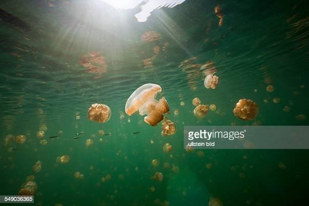Endemic Mastigias Jellyfish Mastigias papua etpisonii Jellyfish Lake Micronesia Palau