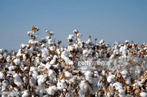 Endless fields of unpicked cotton in bloom during Spring
