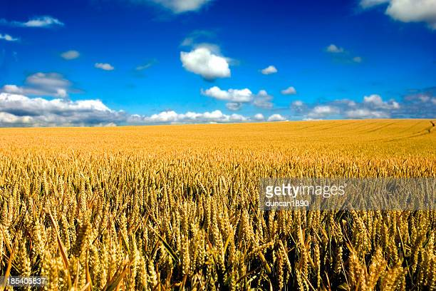 Endless wheat field