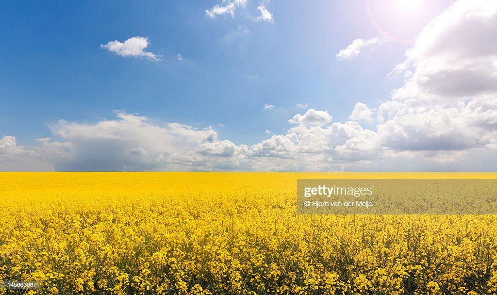 Endless yellow canola field : Stock Photo