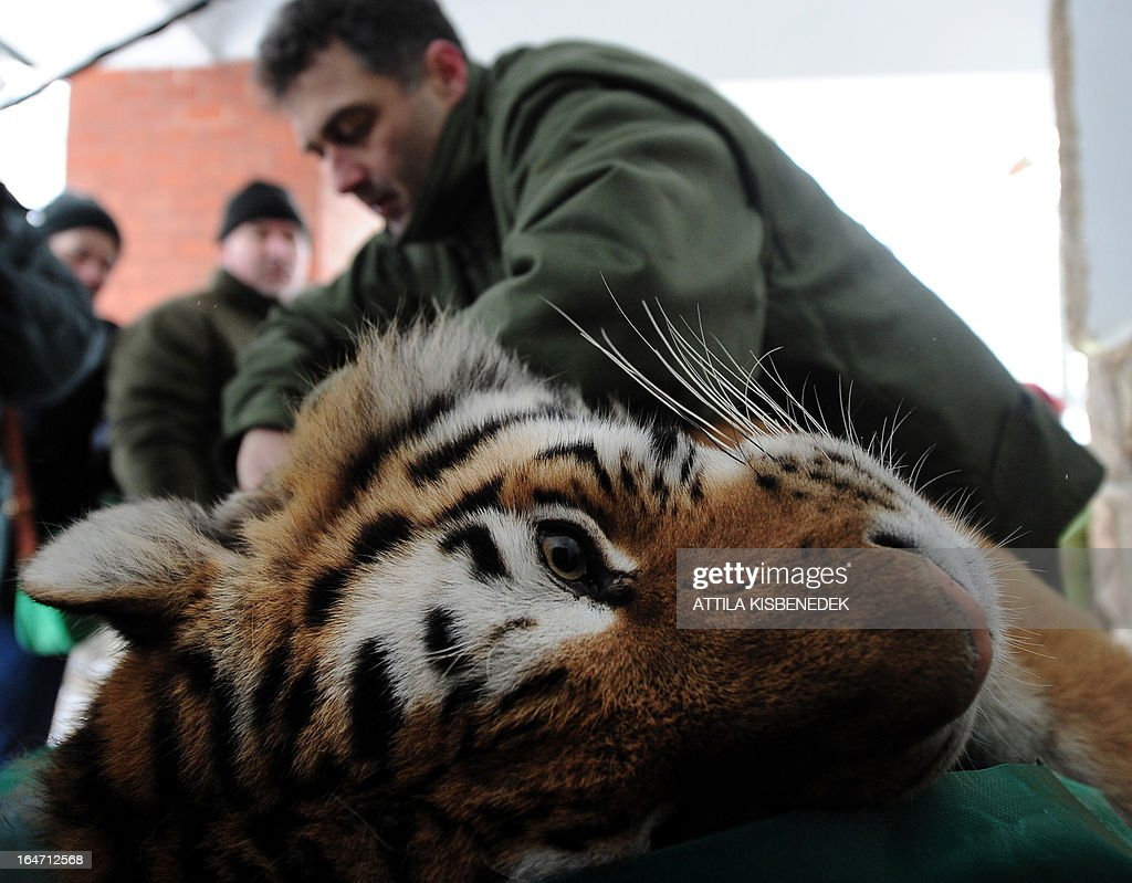 Endre Sos, chief veterinarian of the Budapest zoo, examines Siberian tiger 'Manu' on March 27, 2013 at the Budapest Zoo and Botanic Garden as preparations are under way for the transport of three Siberian tigers to their new home, the ZOOM Erlebniswelt in Gelsenkirchen, western Germany. The tigers were born on May 10, 2011 here at the zoo of the Hungarian capital Budapest.