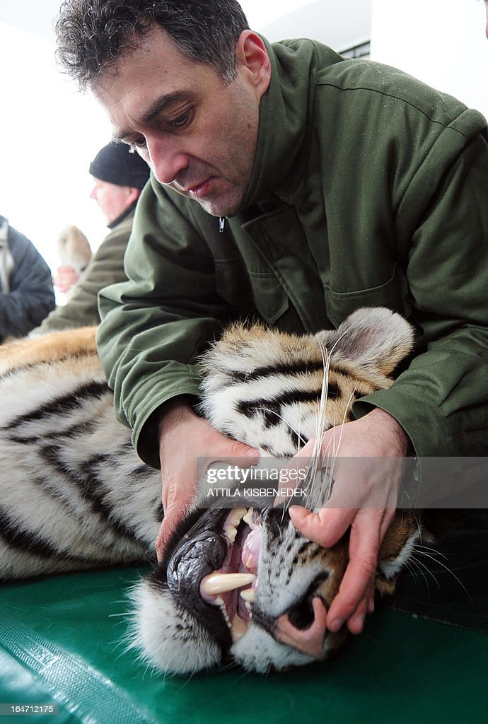 Endre Sos, chief veterinarian of the Budapest zoo, examines the teeth of Siberian tiger 'Virgil' on March 27, 2013 at the Budapest Zoo and Botanic Garden as preparations are under way for the transport of three Siberian tigers to their new home, the ZOOM Erlebniswelt in Gelsenkirchen, western Germany. The tigers were born on May 10, 2011 here at the zoo of the Hungarian capital Budapest.