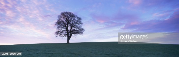 England, Dorset, Oak tree (Quercus robur) in field, dawn, winter : Stock Photo