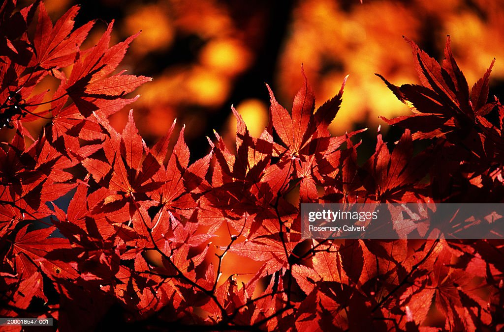England, Gloucestershire, red leaves on maple (Acer sp.), close-up : Stock Photo