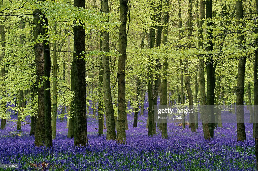 England, Hertfordshire, Ringshall, beech forest floor covered in blueb