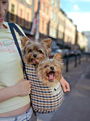 England, London, woman carrying handbag with two Yorkshire Terriers peeking out, in street