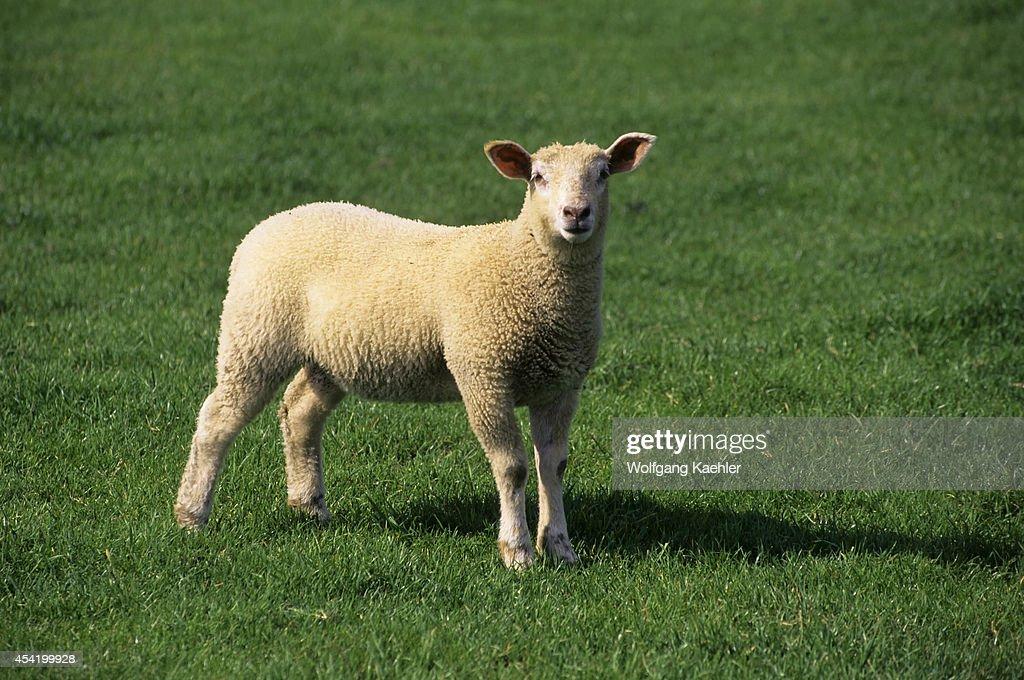 England, Near Oxford, Blenheim Castle, Park Grounds With Sheep.