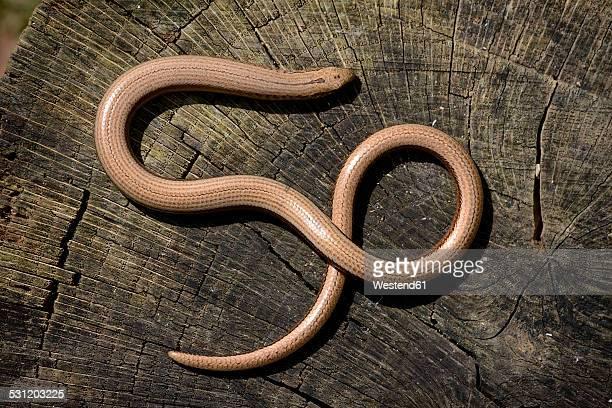 England, Slow Worm, Anguis fragilis, on wood