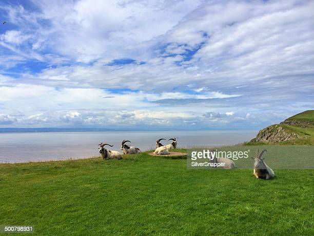 UK, England, Somerset, Goats on Brean Down