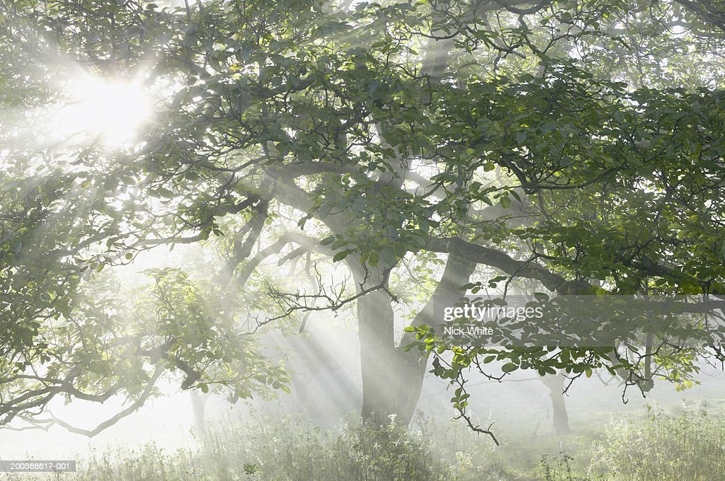 England, Somerset, sunlight streaming through branches  in woodland : Stock Photo