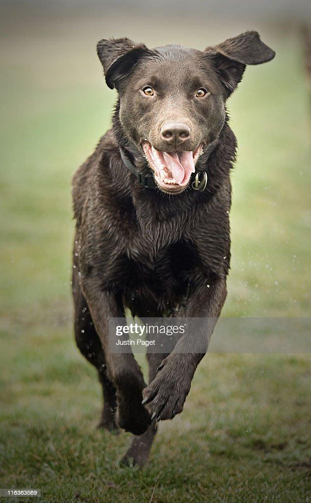 UK, England, Suffolk, Thetford Forest, Black dog running