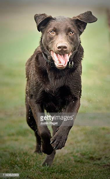 UK, England, Suffolk, Thetford Forest, Black dog running