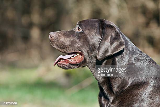 UK, England, Suffolk, Thetford Forest, Profile of black labrador