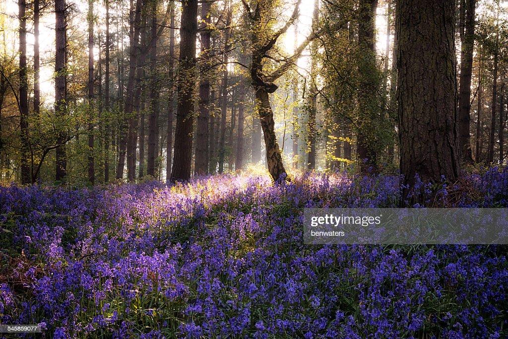 UK, England, West Midlands, Warwickshire, Stratford-upon-Avon, Sunrise In Bluebell Woods