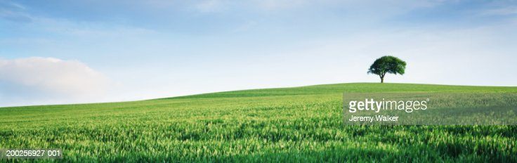 England, Yorkshire, single tree on hill overlooking wheat field : Stock Photo