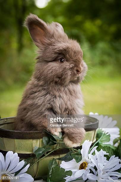English Angora baby bunny