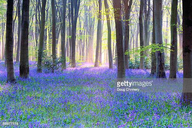 English Bluebell Wood at Dawn