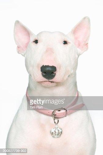 English Bull Terrier in studio : Stock Photo