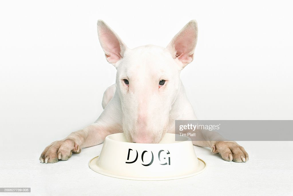 English Bull Terrier lying with nose in dog bowl in studio : Stock Photo