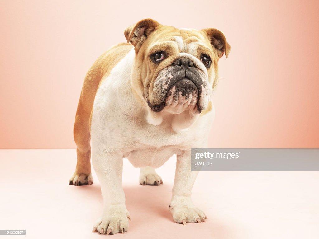 English bulldog, against pink background