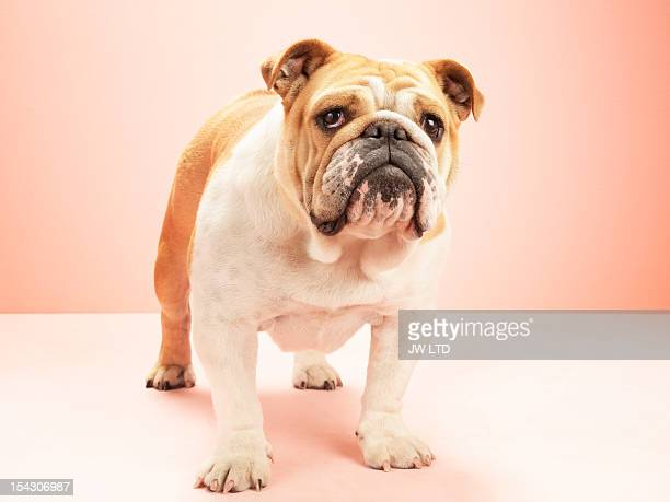 English bulldog, against pink background