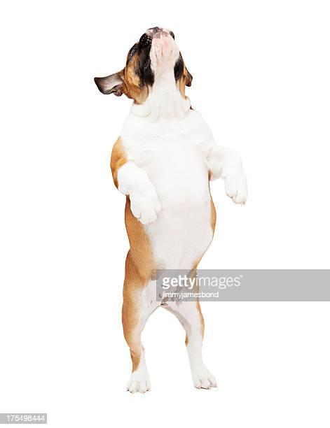 English Bulldog Jumping