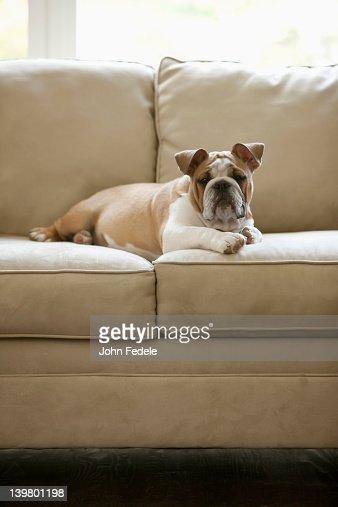 Buldogue Inglês pôr no sofá