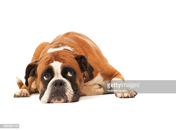 English bulldog lying down and looking up