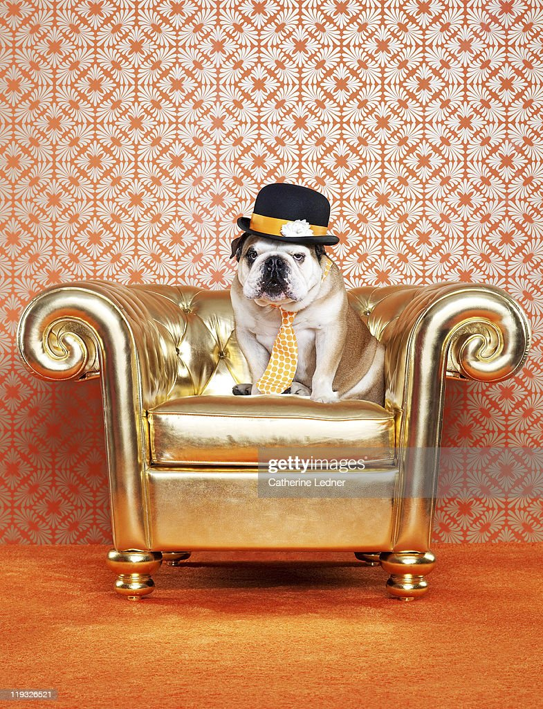 English Bulldog (Canis lupus familiaris) on chair : Stock Photo