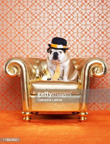 English Bulldog (Canis lupus familiaris) on chair
