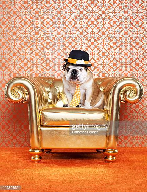 English Bulldog (Canis lupus familiaris) on chair