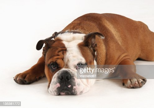 English bulldog on white background : Stock Photo