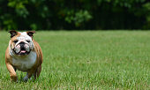 english bulldog running outside in the grass